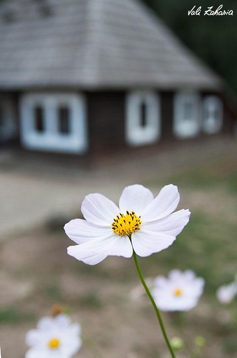 floare_casa_bucovina