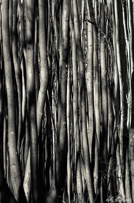 copaci_linii