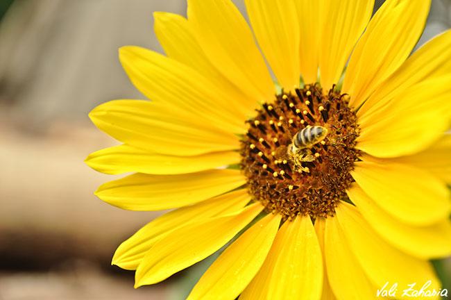 Floarea Soarelui si albina