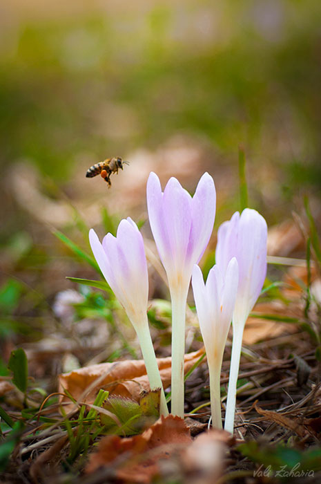 flower_bee_bucovina