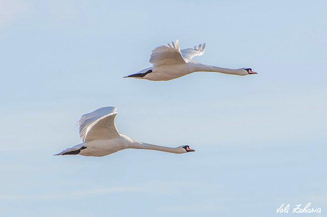 lebede_swans