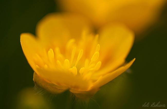 floare_galbena_macro